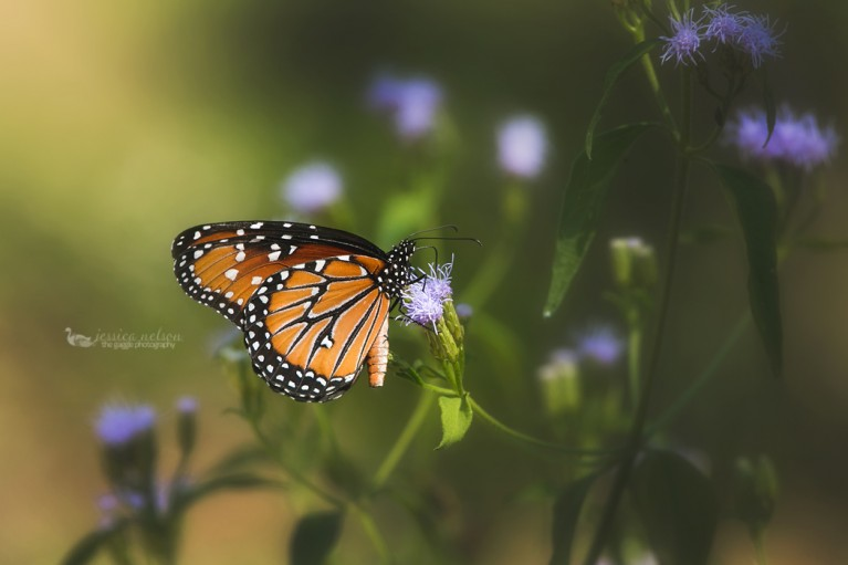 butterly sitting on a purple flower by Jessica Nelson