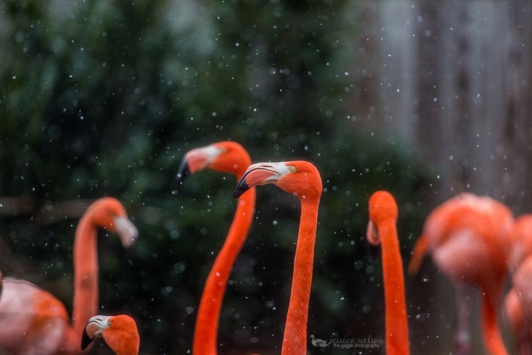flamingos standing in the snow by Jessica Nelson