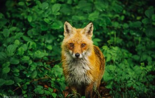 photo of a fox in a field of green by Jessica Nelson