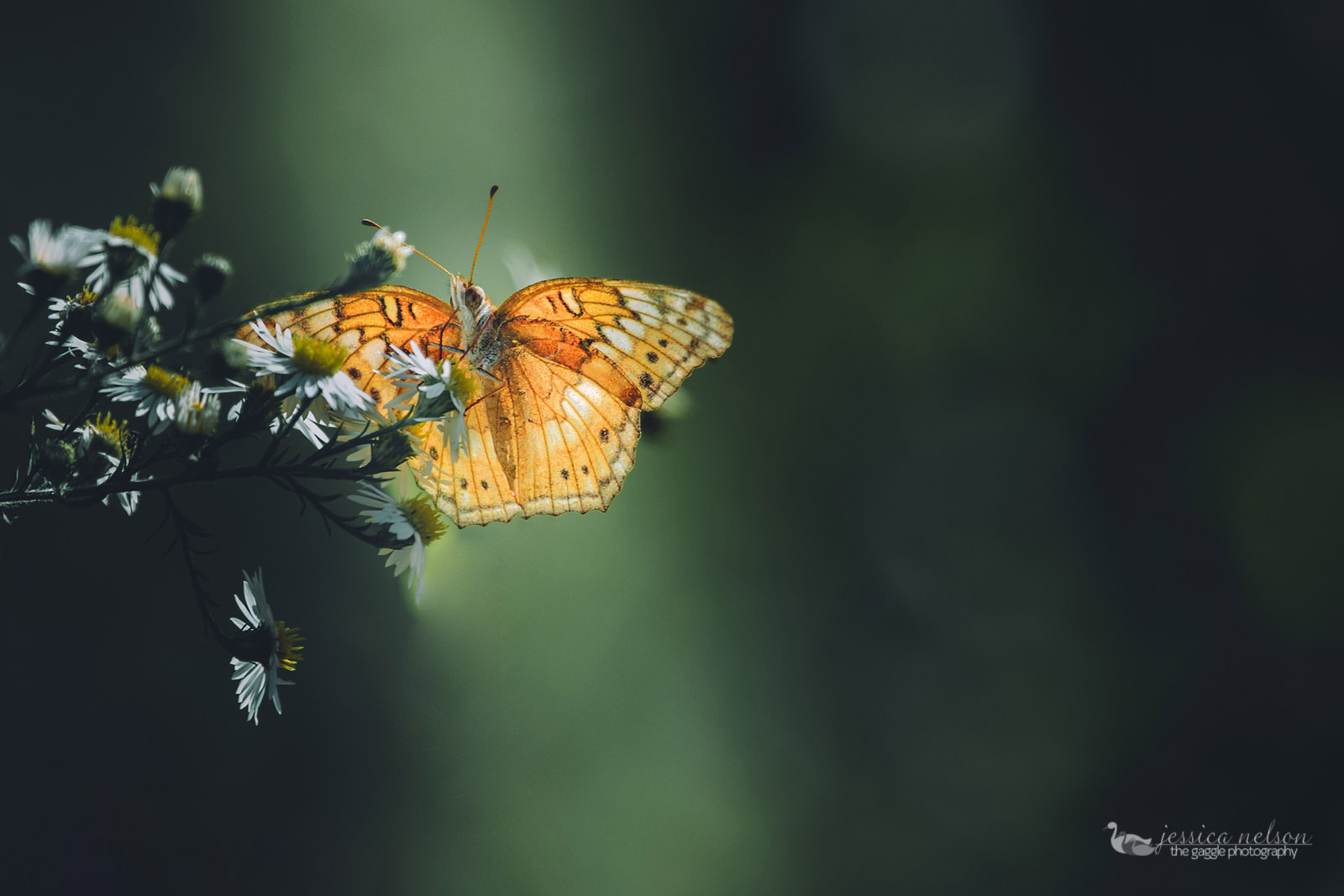 picture of an orange butterfly by Jessica Nelson of Gaggle Photography