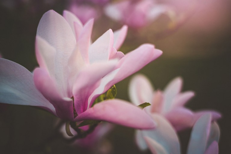 flower photography of a magnolia