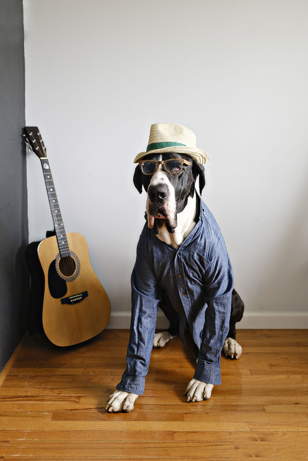 Funny dog photo of a great dane dressed as guitar player