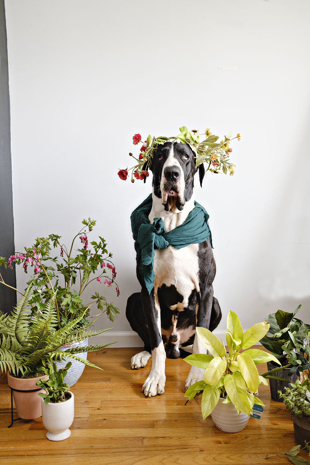 Funny dog photo of a great dane wearing flower crown
