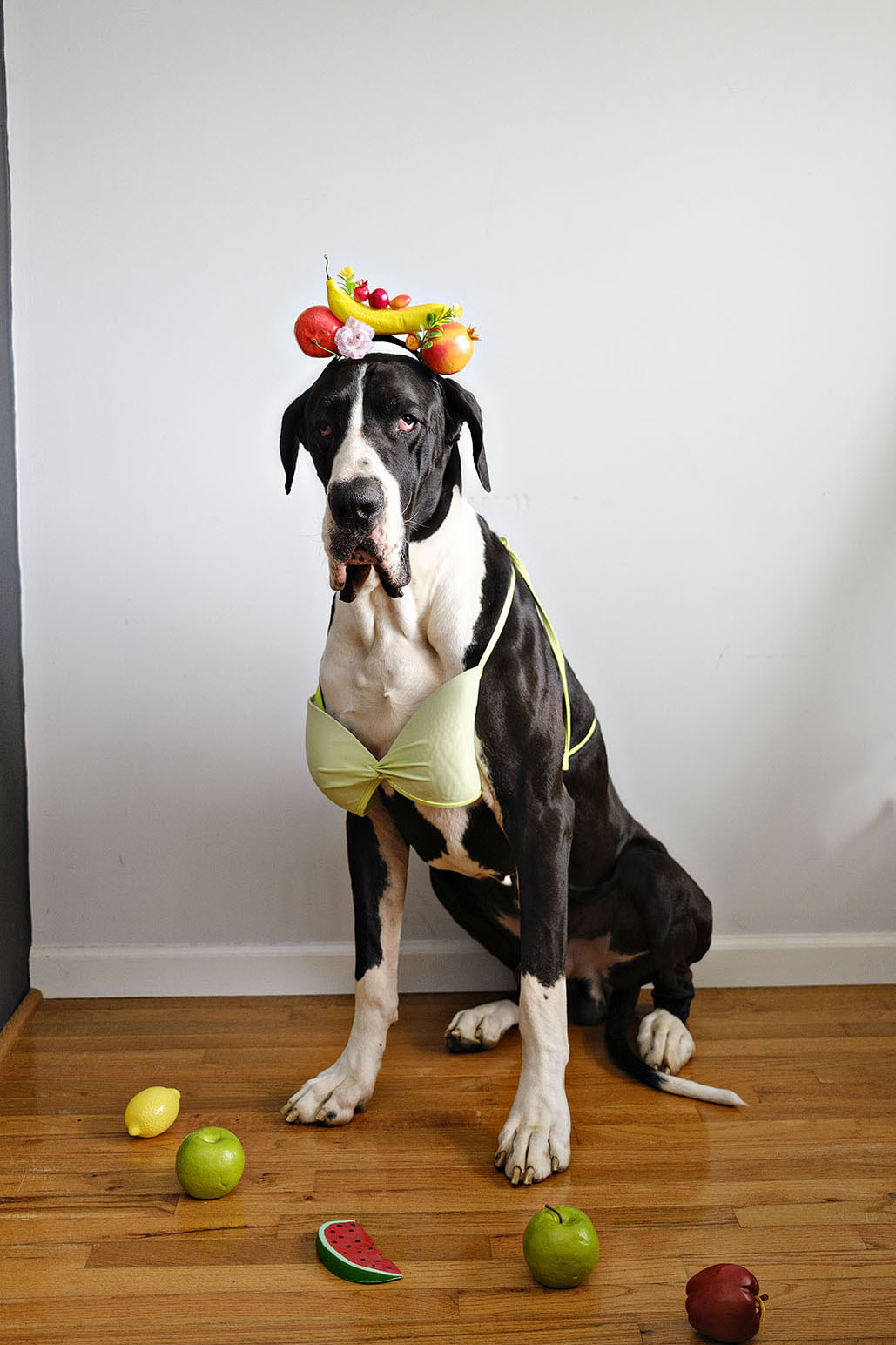 Funny dog photo of a great dane dressed in bikini